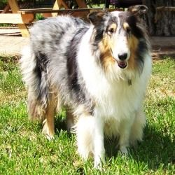 Krystal Is An Adoptable Collie Dog In Winston Salem Nc 7 28 12