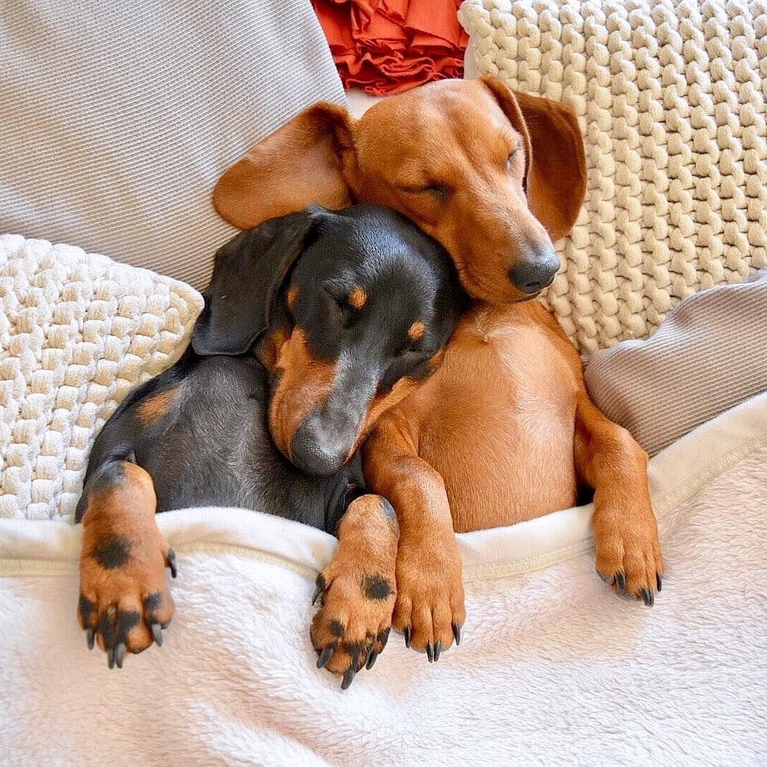 Sleeping Dachshunds Sausage Dog Dachshund Love Dachshund