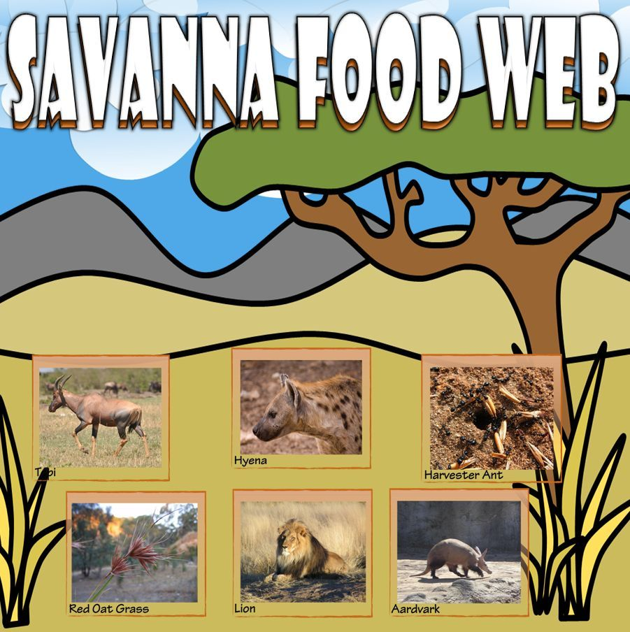 Food Chain and Food Web Savanna Card Sort Food chain