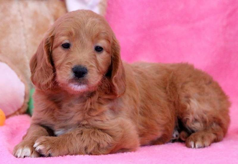 Goldendoodle miniature puppy for sale in mount joy pa