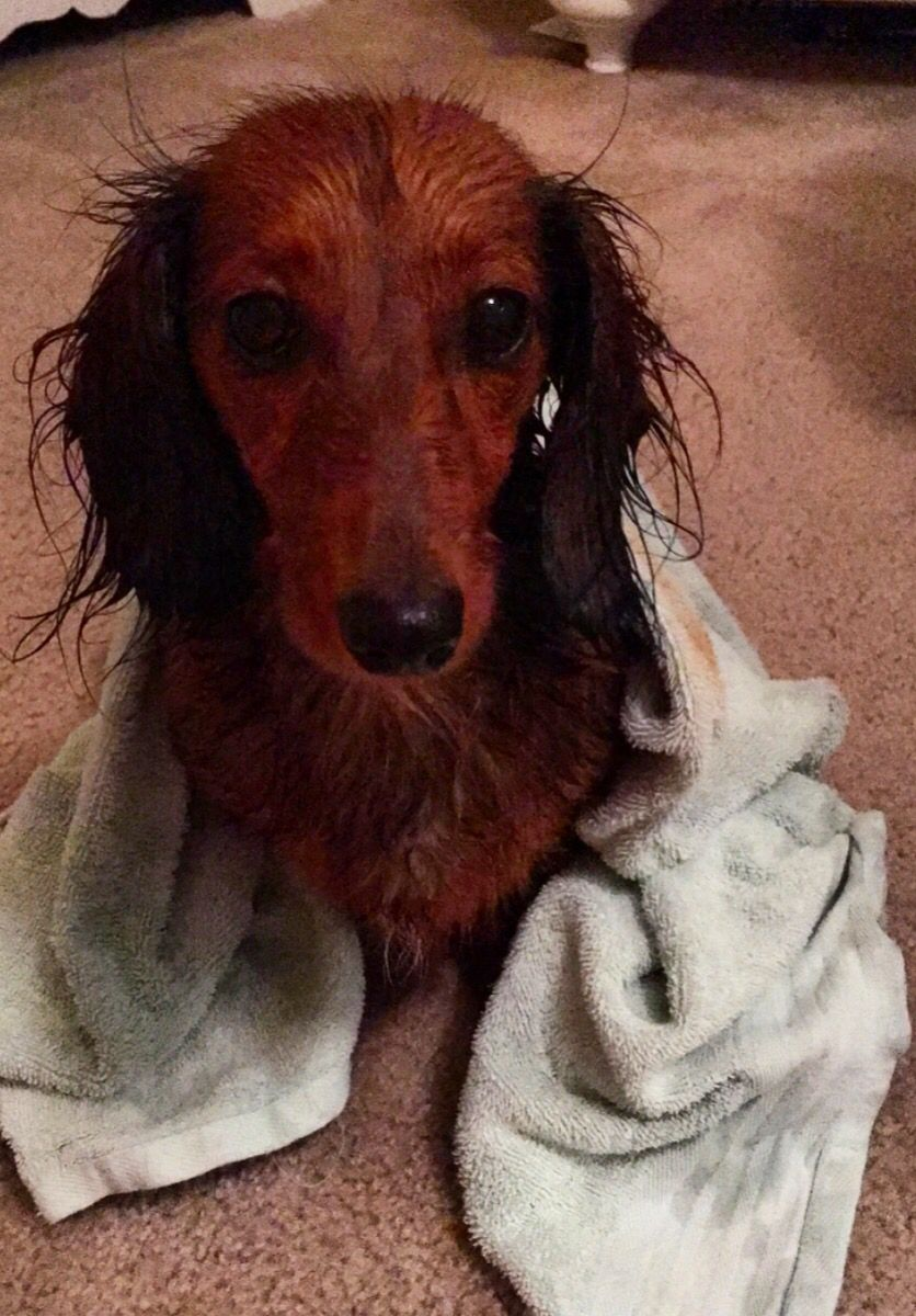 Delilah the doxie after a bath