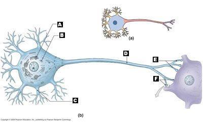 neuron diagram quiz] blank neuron diagram to practice labeling ...