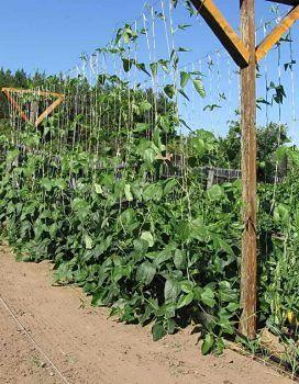 Photo of Вигна, выращивание фасоли рассадой и посевом семян в открытый грунт