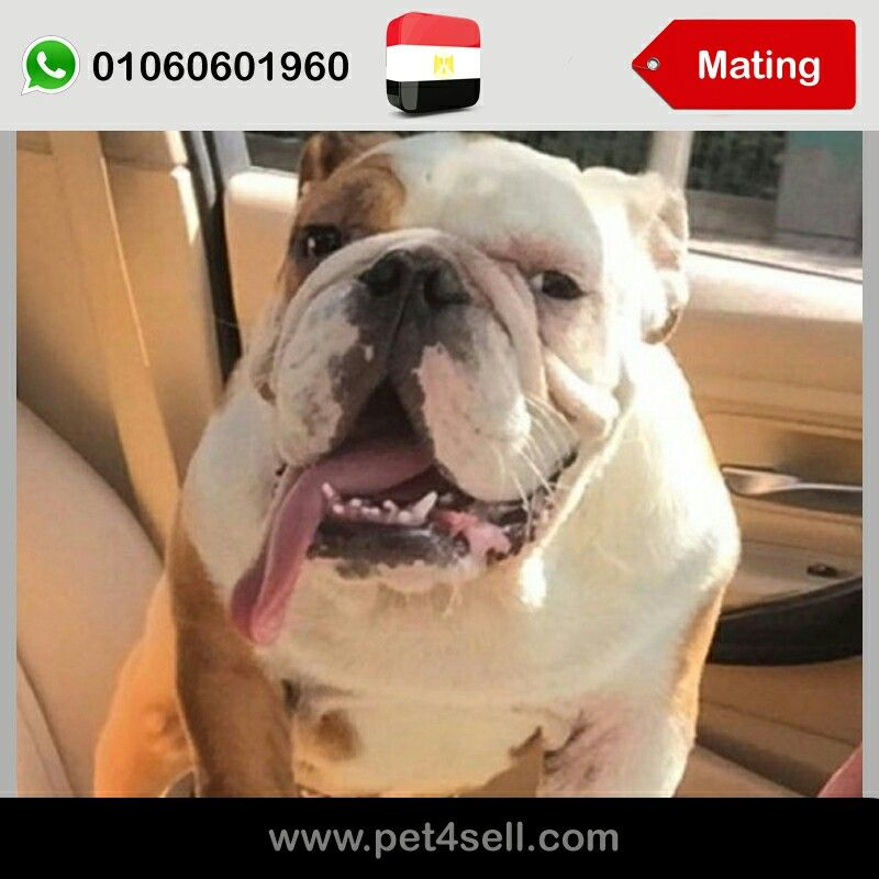 Egypt Cairo Im Looking For A Beautiful English Bulldog Female For