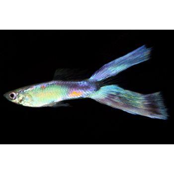 Lyretail guppy freshwater community fish animal love for Freshwater community fish