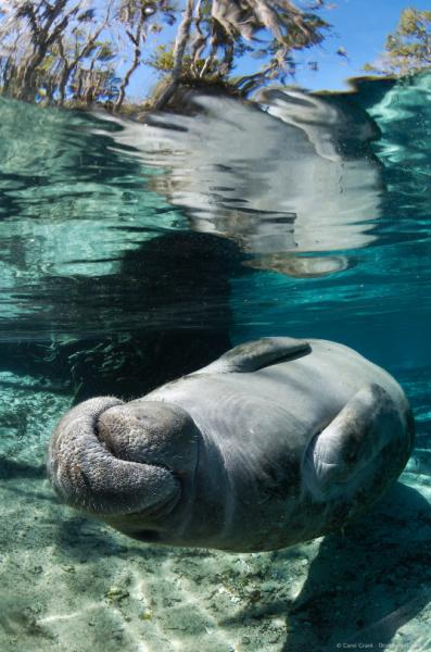 Looooooook Manatee Manatees Nature Wildlife Aquatic Seascape Sea Life Florida Ocean Creatures Ocean Mammal Wild Animals Photos