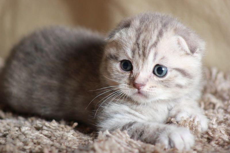 Картинки скоттиш фолд котята