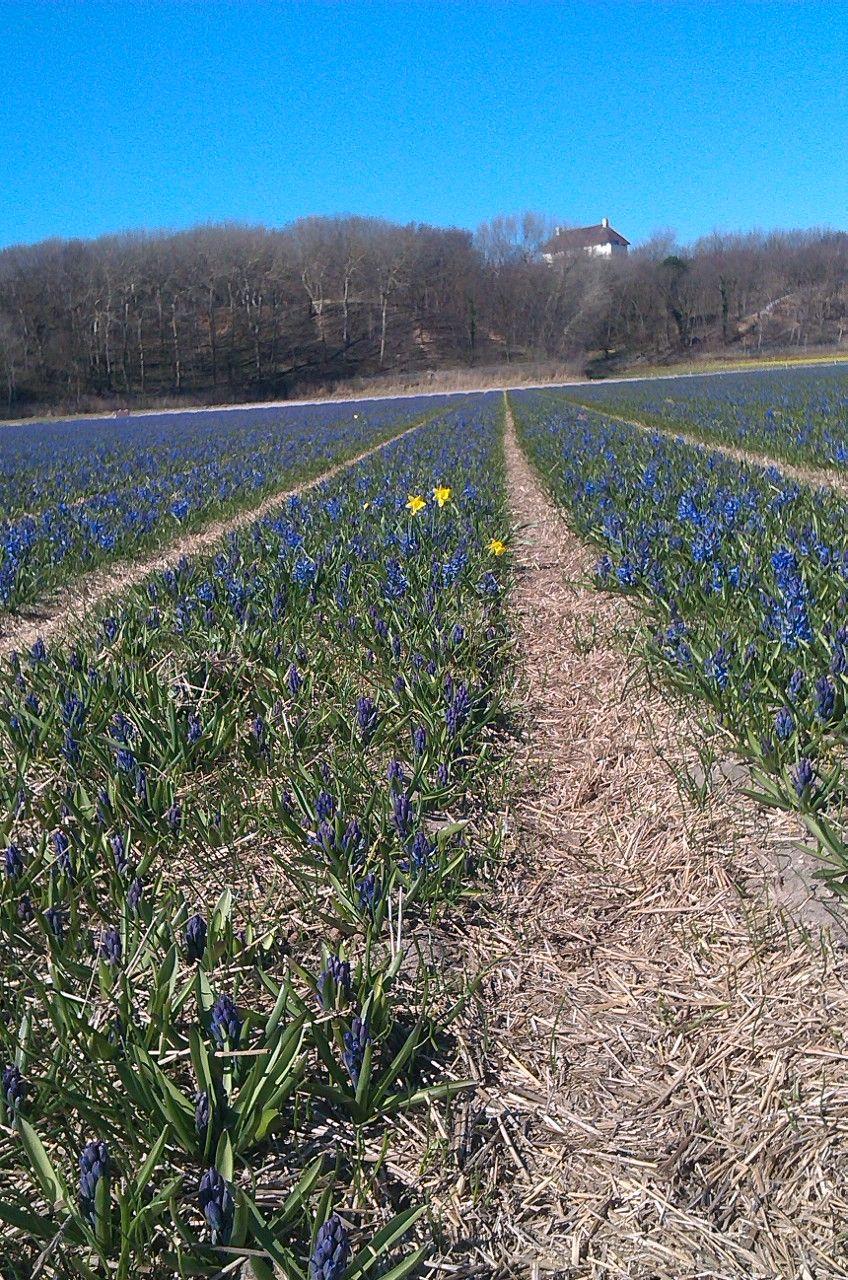 hyacinten hyacinten Bollenvelden Pinterest