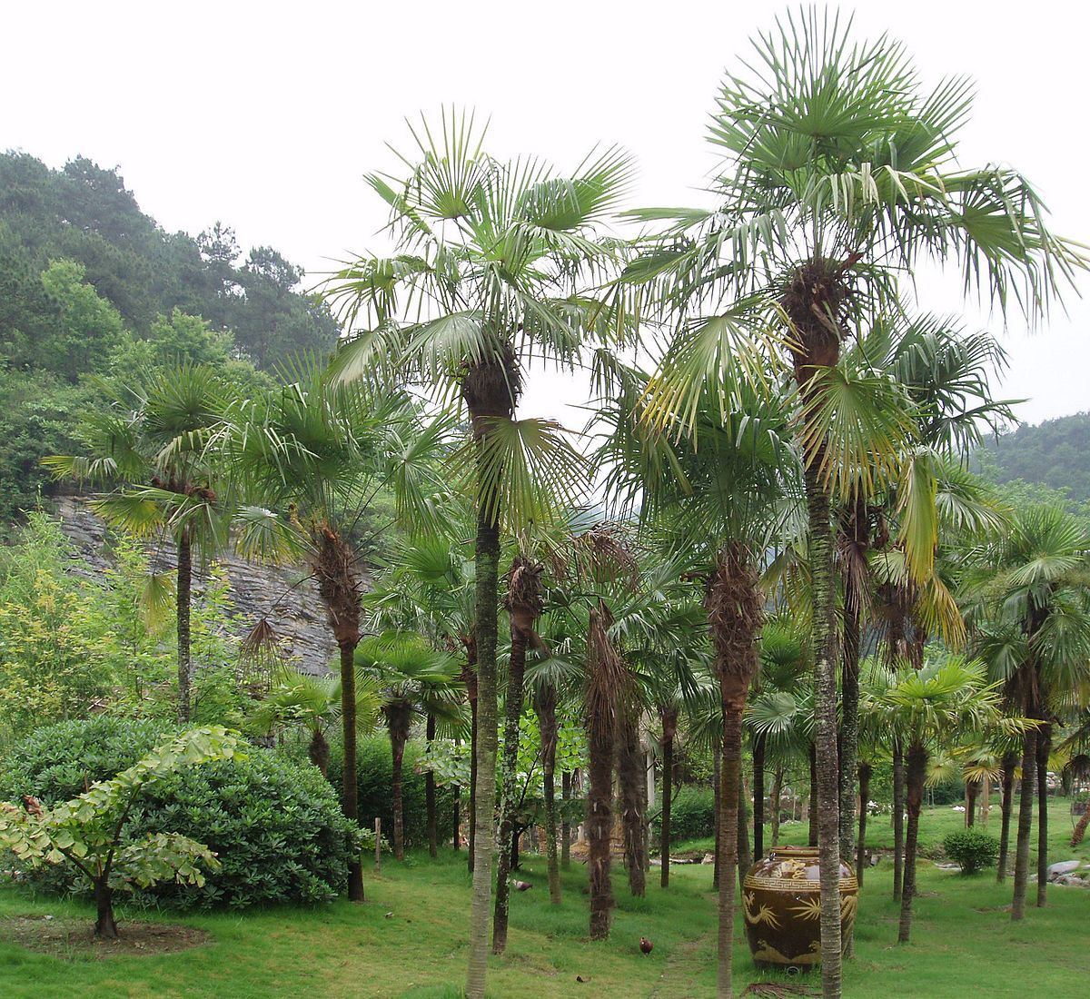 Trachycarpus Fortunei Wikipedia Mediterranean Plants Cold Hardy Palm Trees Hardy Plants
