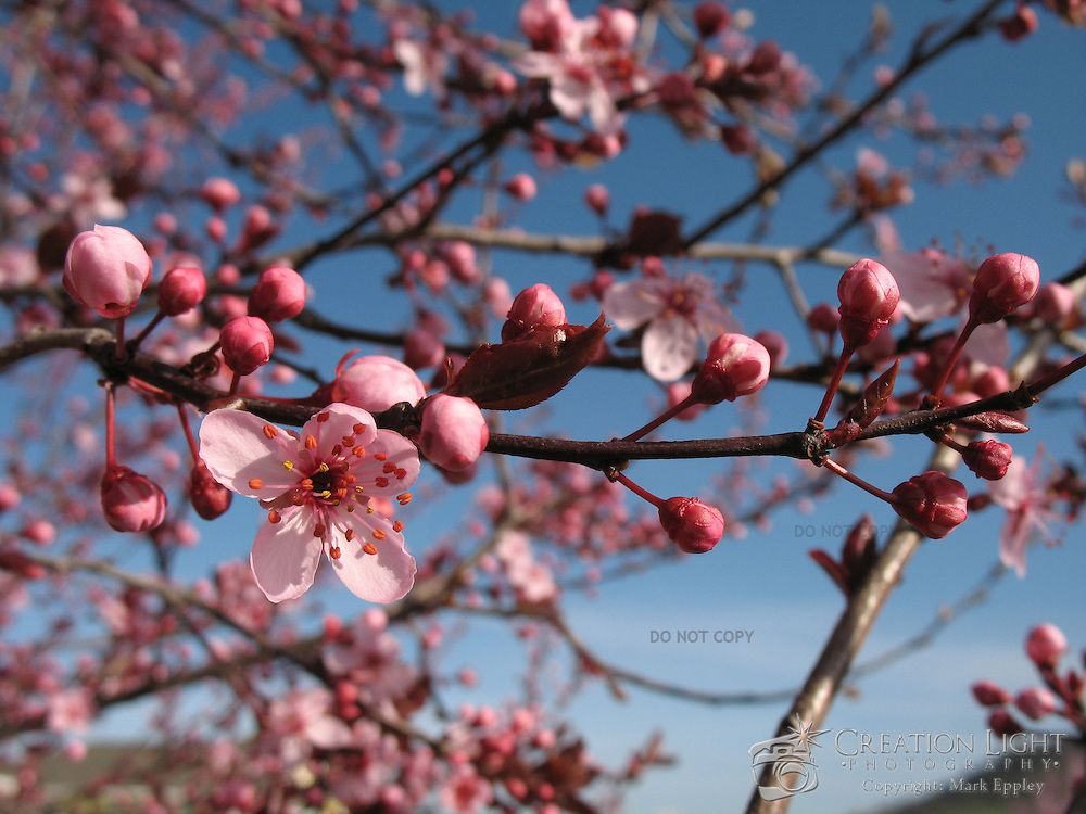 Ornamental Cherry Trees Flower But Do Not Produce Cherries In The Early Spring The Buds On The Tree Blo Flowering Cherry Tree Ornamental Cherry Pink Blossom