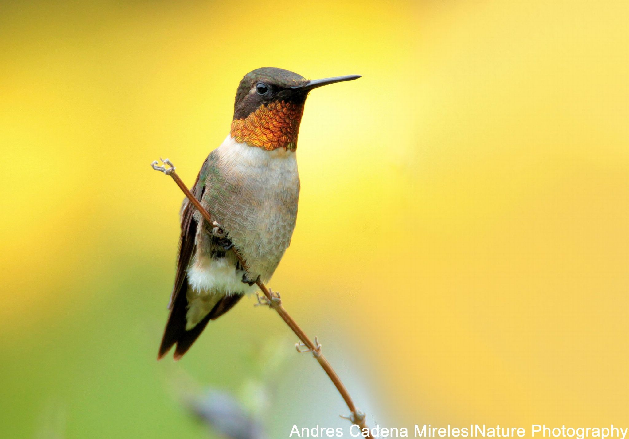 Beauty At Rest! Ruby Throated Hummingbird by Andres Cadena