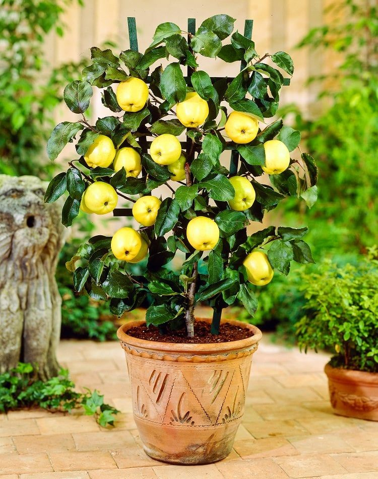 How To Grow An Apple Tree In A Pot Everything About Growing Apples Potted Trees Growing Apple Trees Fruit Plants