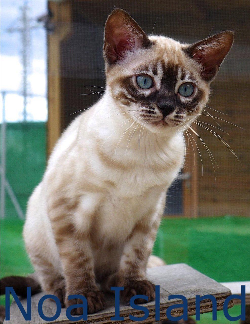 Snow Bengal Kitten Brown Rosetted Bengal Kitten Charcoal Snow