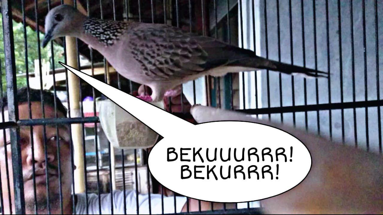 Suara Burung Tekukur Manggung Gacor Ini Pasti Bikin Derkuku Lain Ikut Bekur Burung