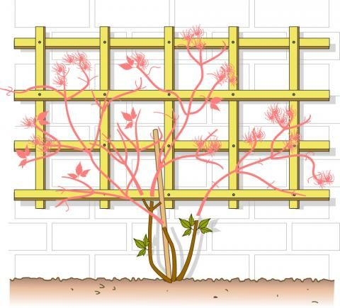 clematis richtig schneiden clematis schneiden g rten und pflanzen. Black Bedroom Furniture Sets. Home Design Ideas