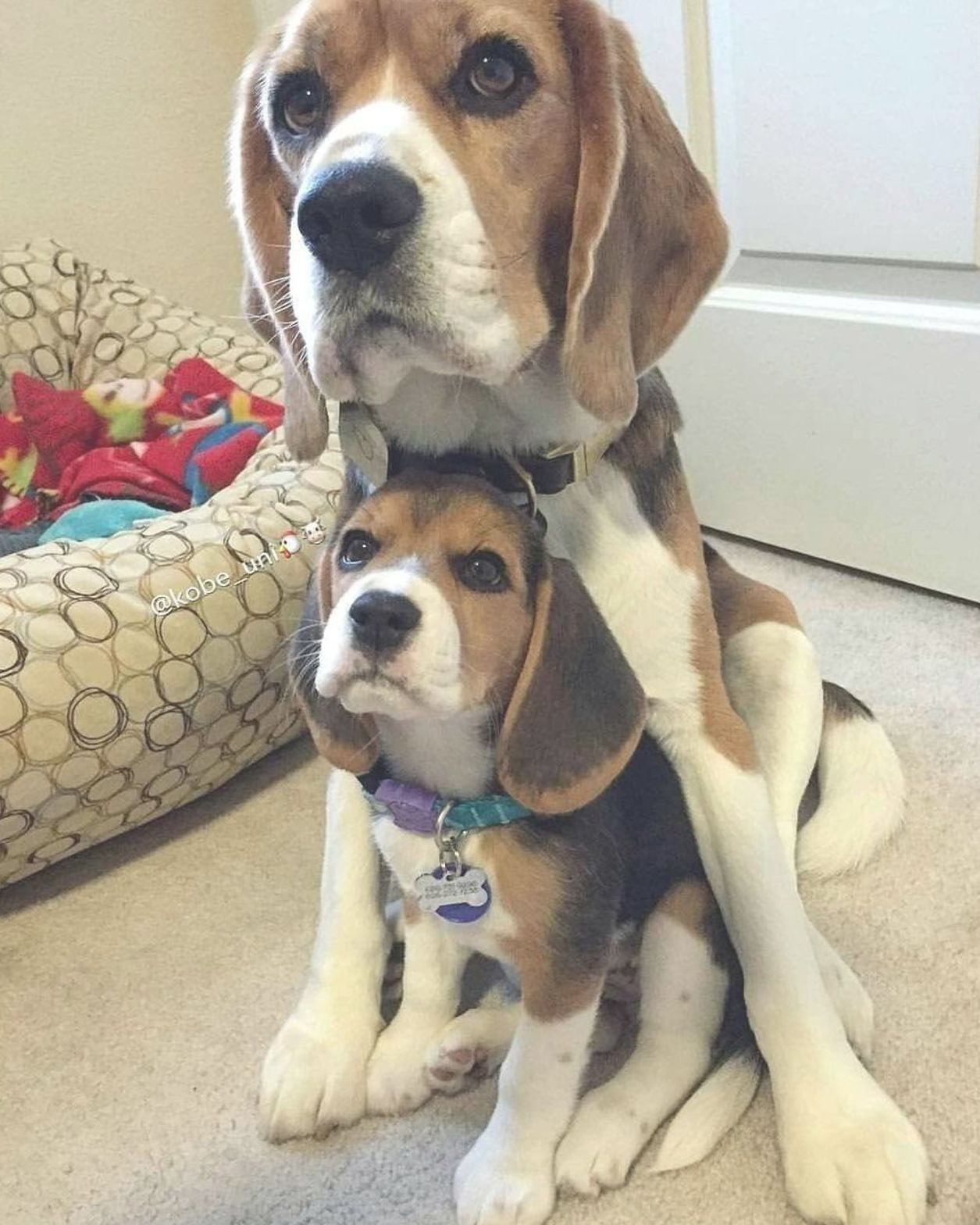 Pin By Ashley Evans On Animals 3 In 2020 Beagle Dog Cute