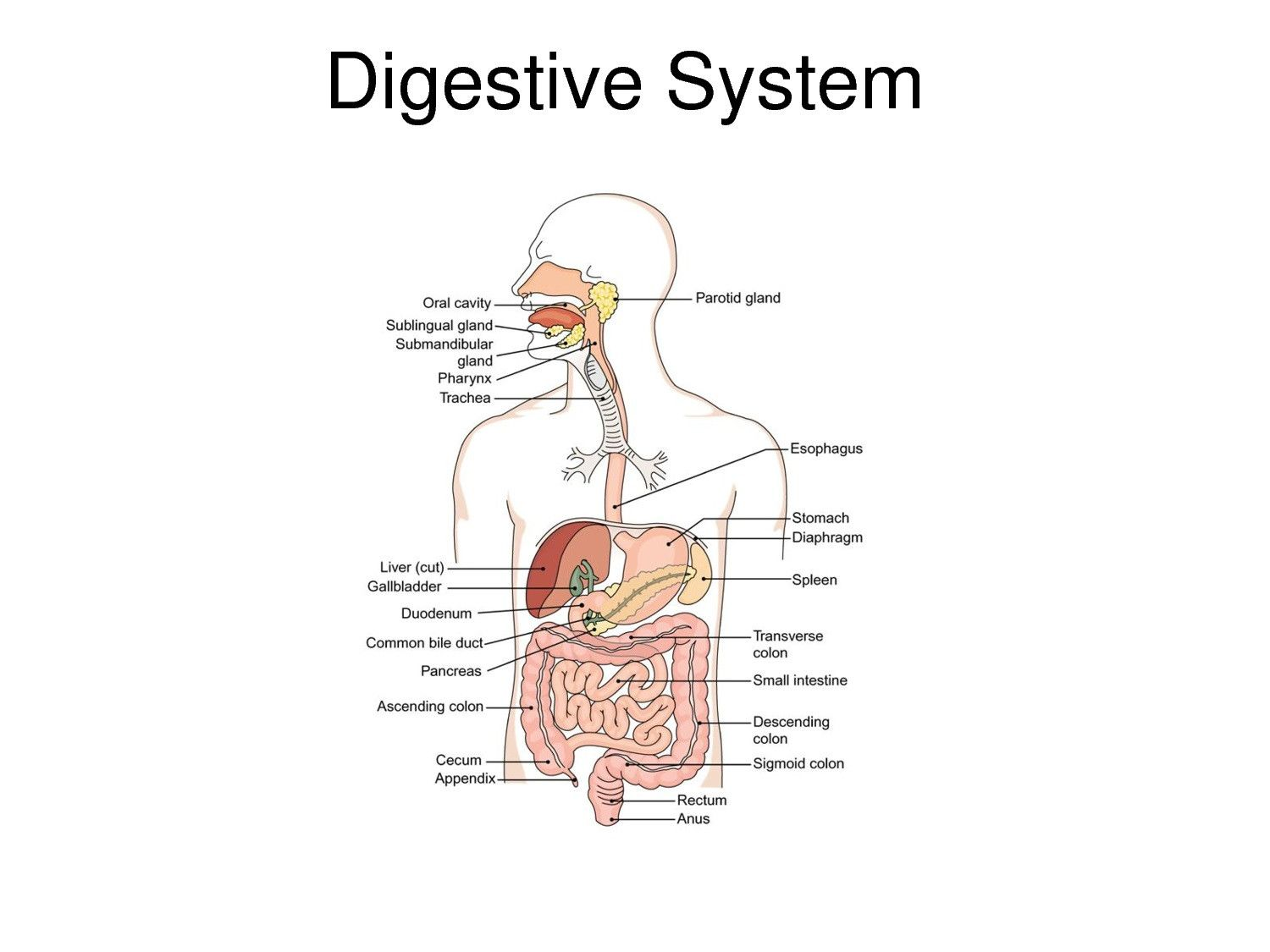 Digestive System Diagram With Labels Beautiful Digestive Tract Diagrams In 2020 Human Digestive System Digestive System Digestive System Diagram