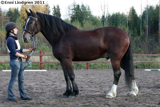 The Estonian Draft or Eston-Arden (Estonian: Eesti raskeveohobune) is a breed of draft horse developed in Estonia. They were developed from a cross of Estonian Native horses and Swedish Ardennes and officially recognized by the Estonian government in 1953. Img: Estonian Draught - stallion Villem