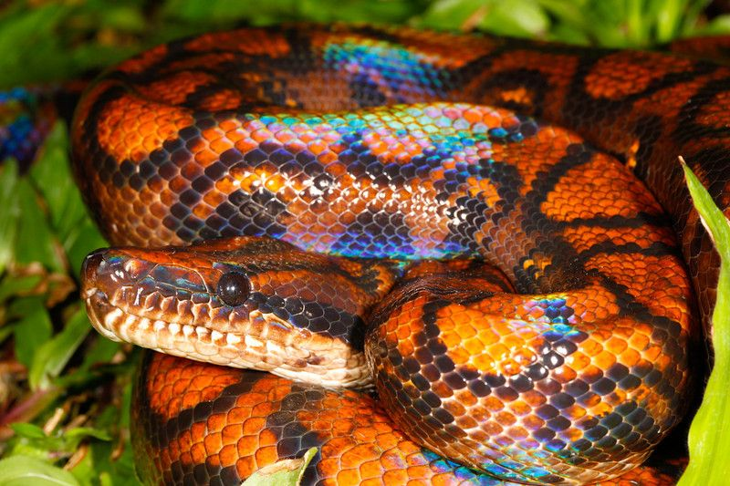 Peruvian Rainbow Boa Epicrates Cenchria Beautiful Snakes