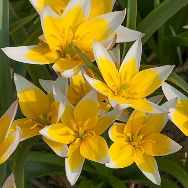 Clusters Of Yellow Star Shaped Flowers Edged White Plant Thickly