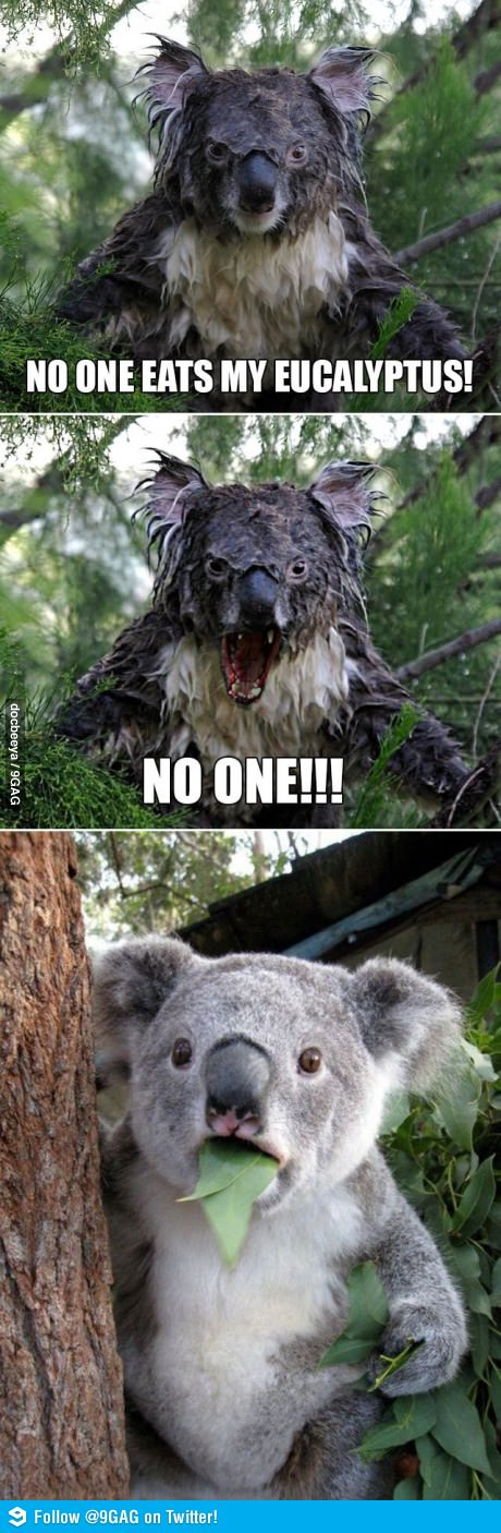 No One Eats My Eucalyptus Funny Koala Funny Animals Funny Animal Pictures