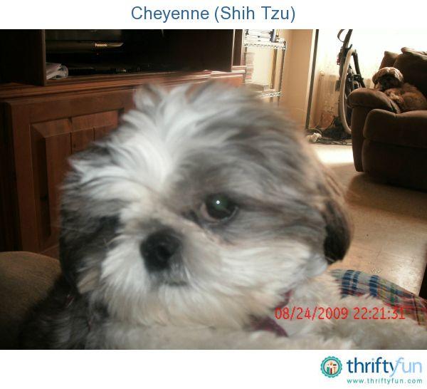 Cheyenne Shih Tzu Pets Pinterest Shih Tzus Doggies And Animal