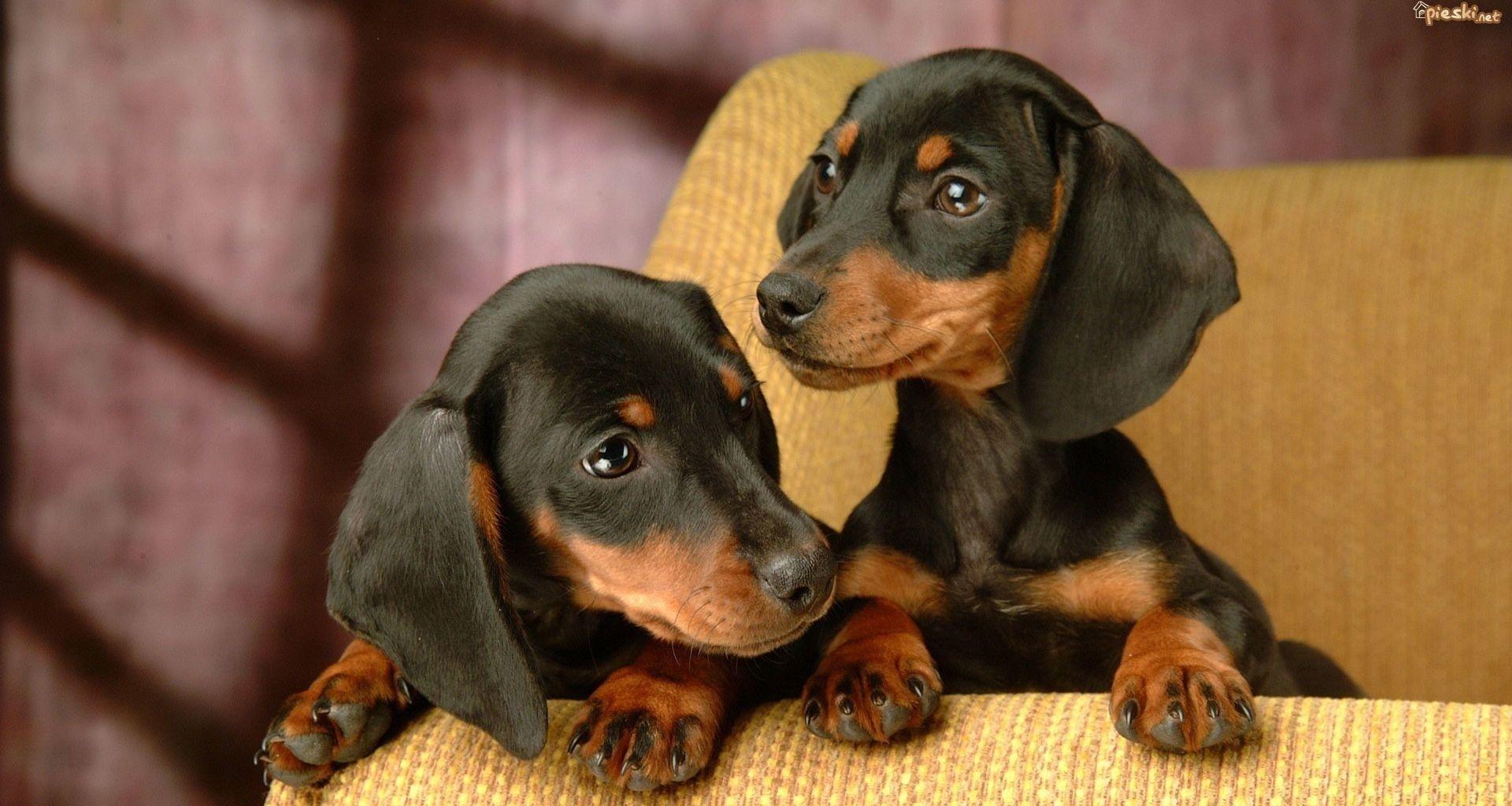 jamniki Szukaj w Google Dachshund puppy miniature