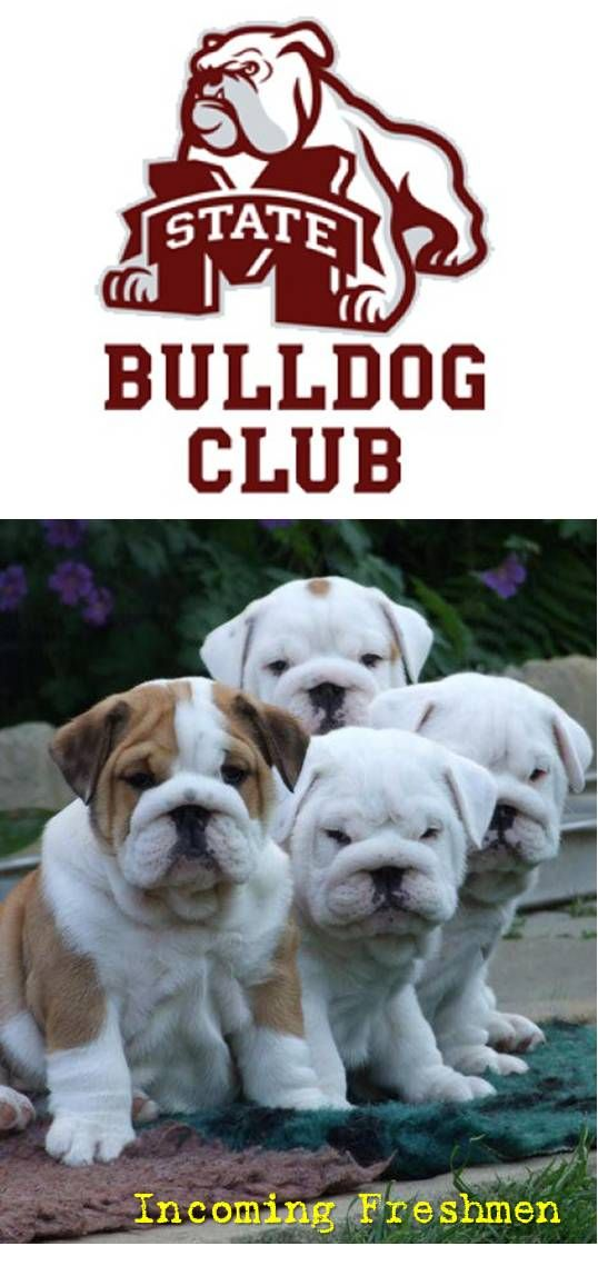 Mississippi State Bulldogs English Bulldog Puppies Bulldog