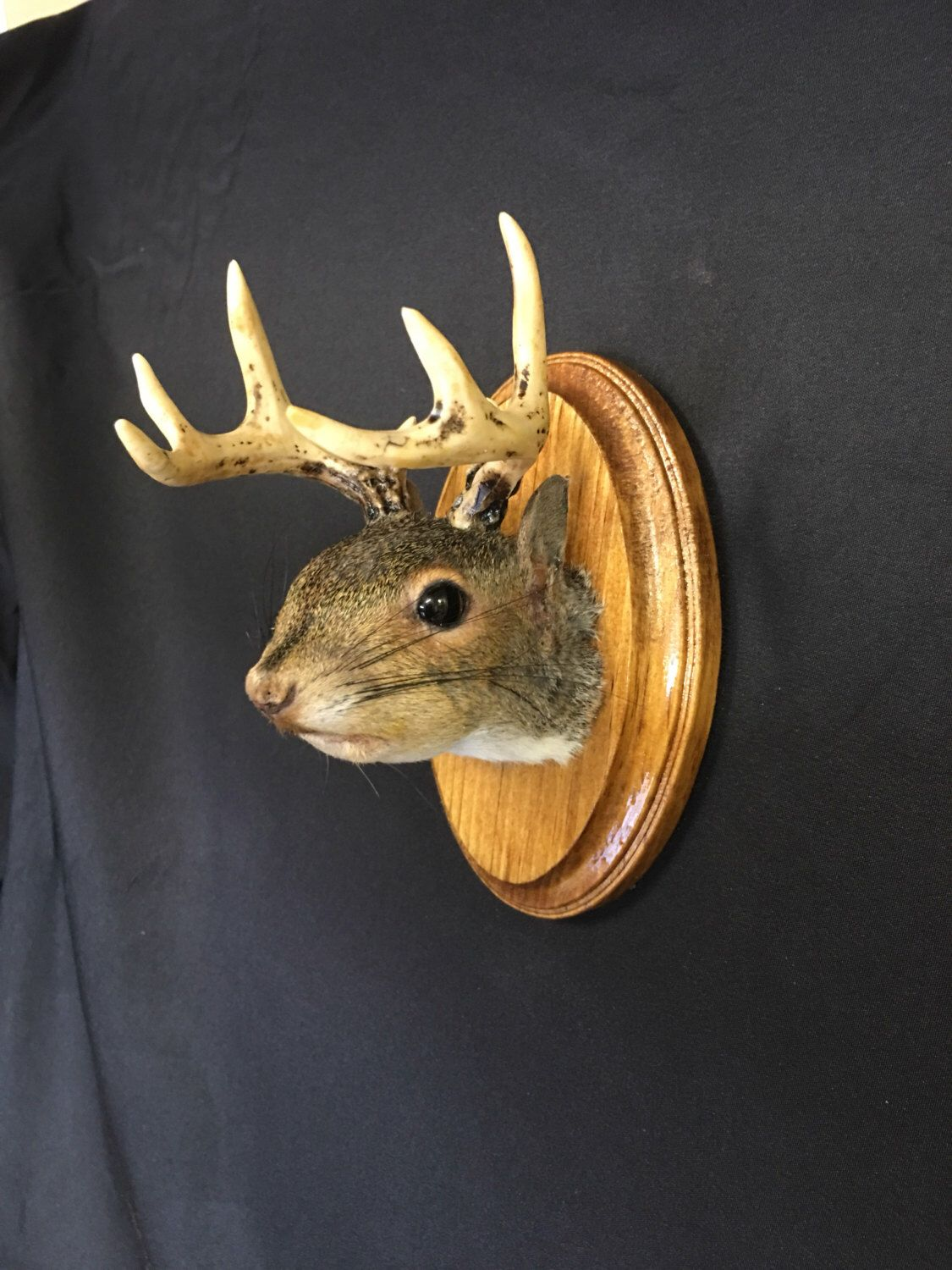 Pin by Stephen Harris on Squirrel taxidermy | Taxidermy, Antlers