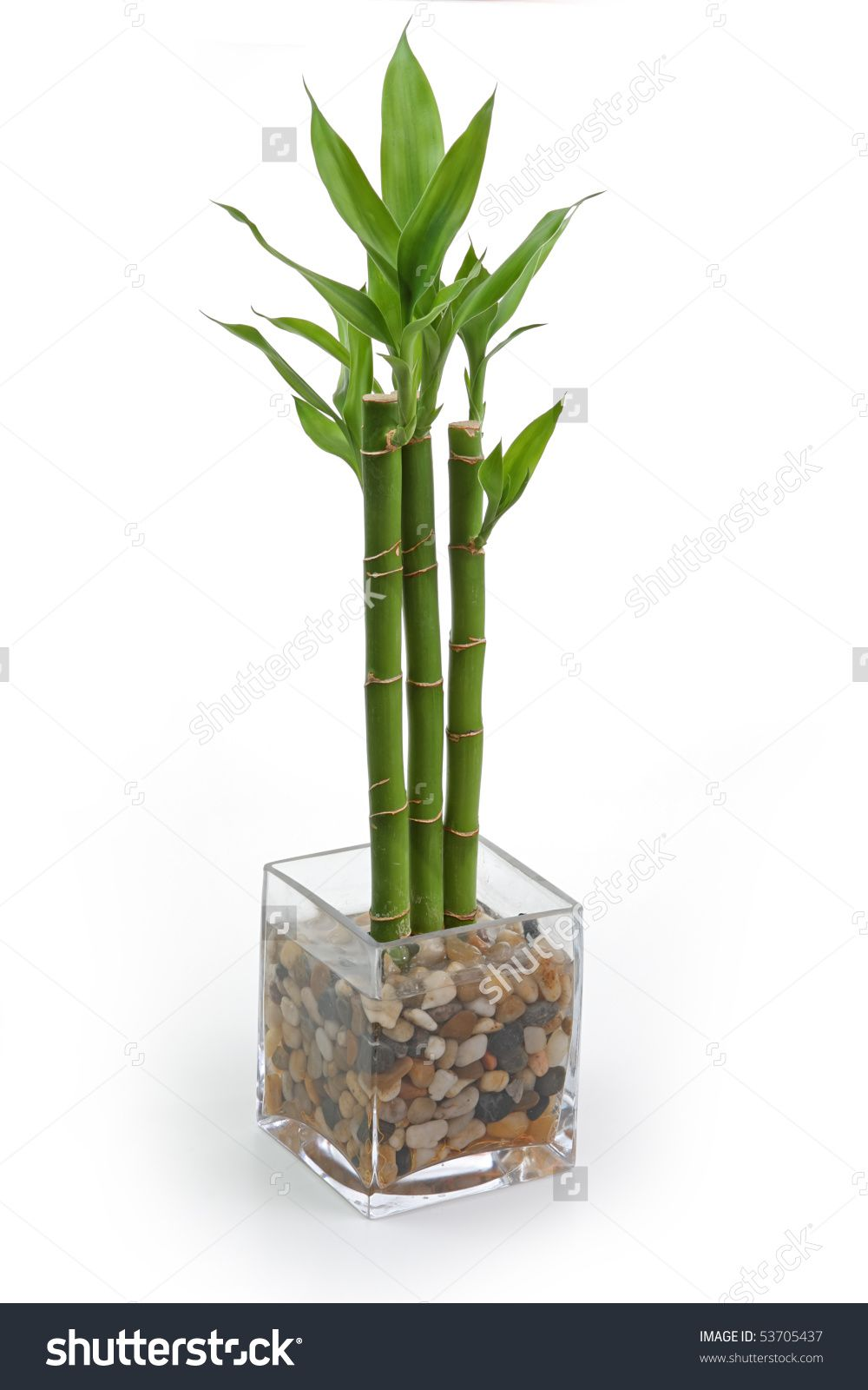 Image result for bamboo plant plants pinterest bamboo plants image result for bamboo plant reviewsmspy