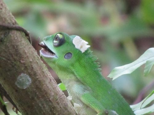 Green Crested Lizard in Mulu-National Park of Borneo