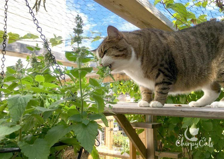 How to grow catnip and impress your kitties Growing