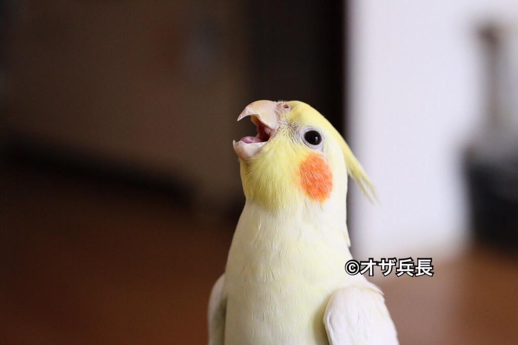 あー、その粟穂はそこの袋に入れておくでありますよ。 そっちじゃなくて右の袋であります!  #オカメインコ #cockatiel #インコ #鳥 #bird #Parakeet #Parrot #お腹ツルツルだな