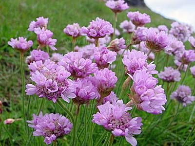 Sea pinks or thrift closeup of flowers garden plant wish list sea pinks or thrift closeup of flowers mightylinksfo