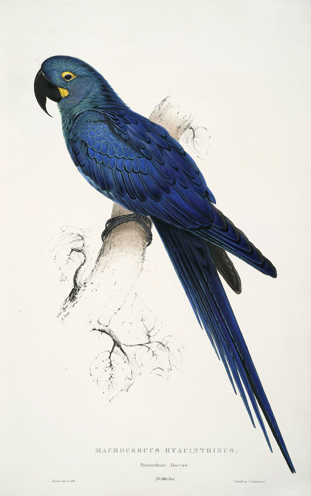 Image result for Illustrations of the Family of Psittacidae, or Parrots