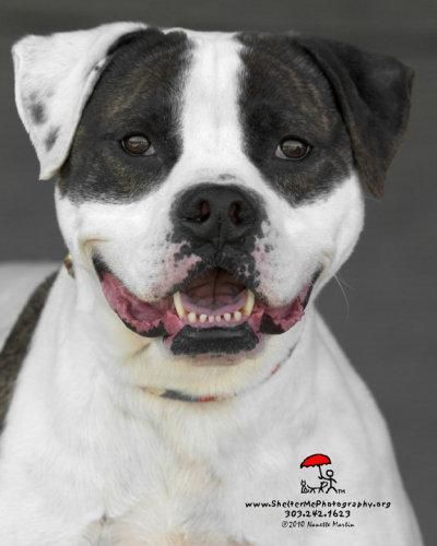 Look At That Smile Petey American Bulldog Elmsford Ny