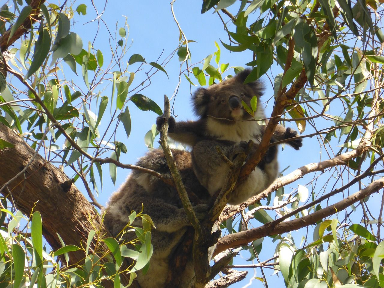 Australia Koala Gumtree Australia Wildlife Australia Koala