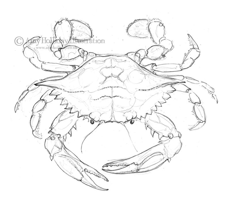 Amy Holliday Illustration : Sketchbook: Atlantic Blue Crab Drawing ...