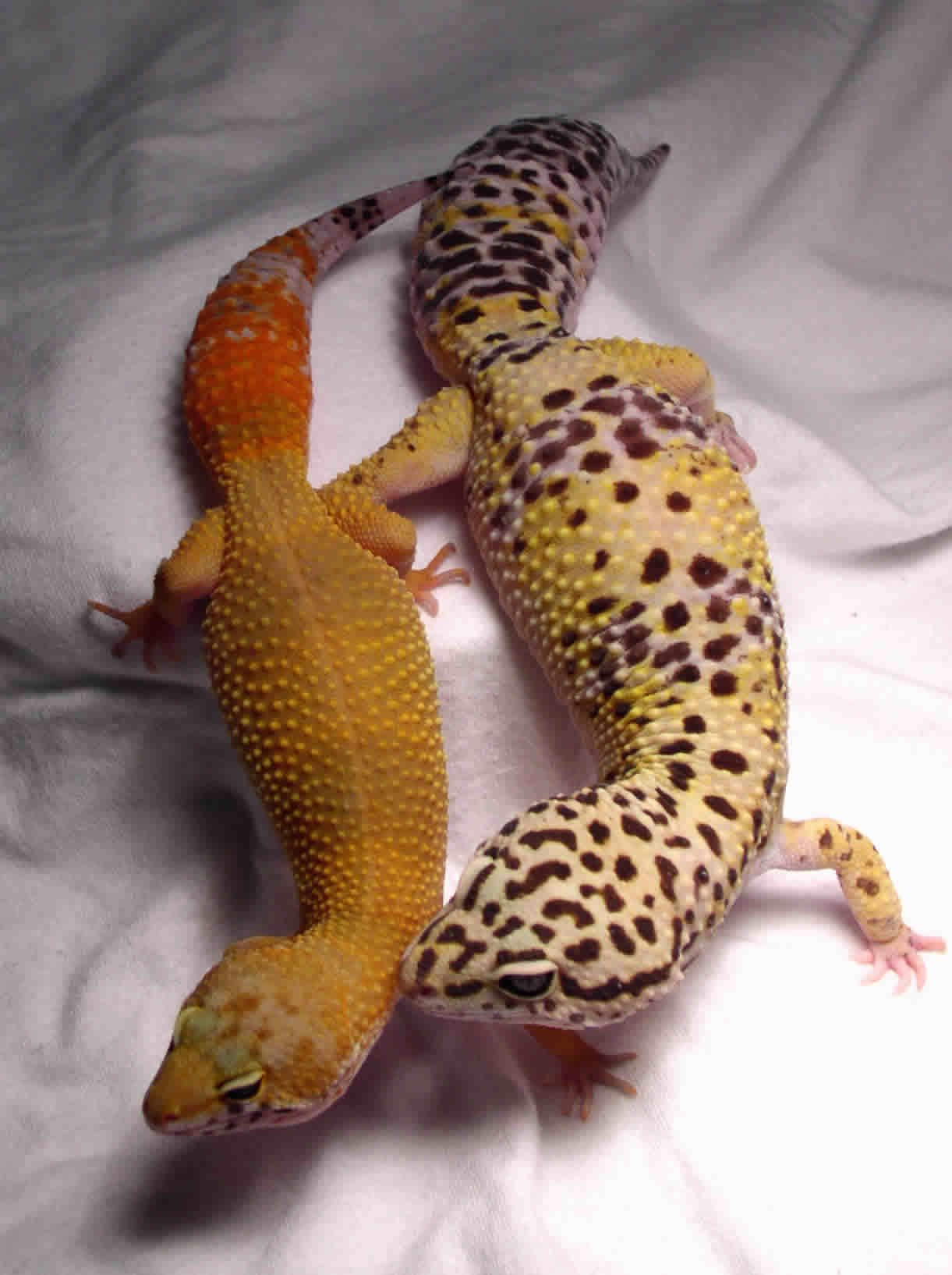 leopard geckos lifespan feeding and lifecycle all about geckos