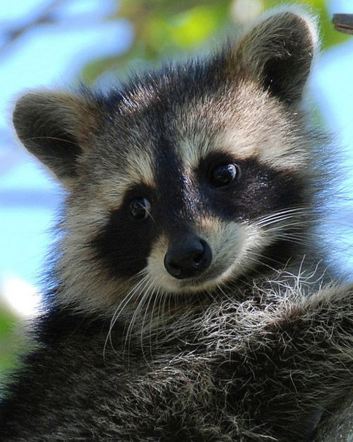 Raccoons are not always this sweet looking....but this one ...