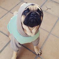 Neville the Pug - like my hoodie?