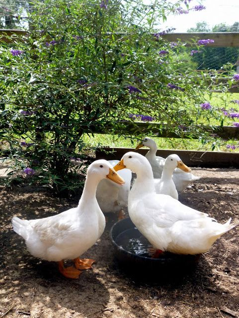 Butterfly bushes are duck-proof! I want to plant one in my run.