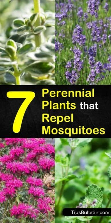 7 Perennial Plants that Repel Mosquitoes and Keep Flies Away #plantsthatrepelmosquitoes