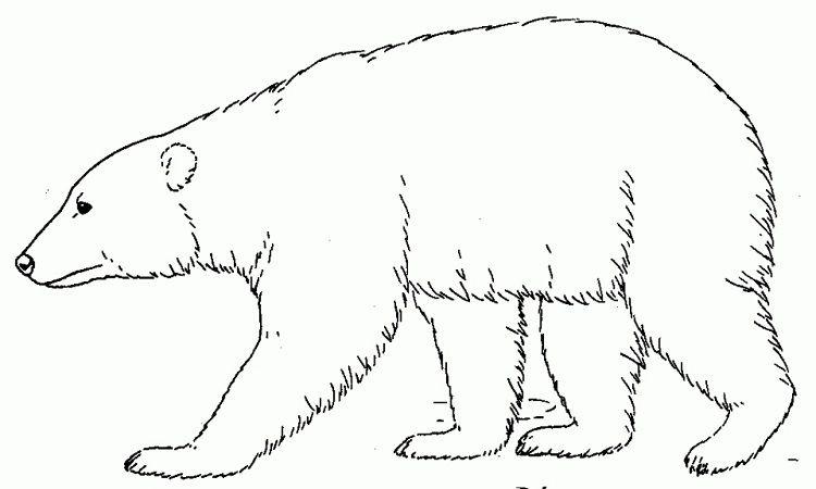 Polar Bear Coloring Pages Free Polar Bear Color Bear Coloring Pages Polar Bear Coloring Page