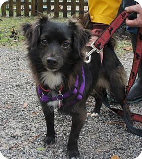 Freeport Fl Chihuahua Sheltie Shetland Sheepdog Mix Meet Ellen A Dog For Adoption Http Www Adoptapet Com Pe Chihuahua Mix Kitten Adoption Dog Adoption