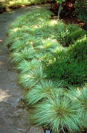 Carex used as a mass planting behind the addition would be for Mass planting grasses