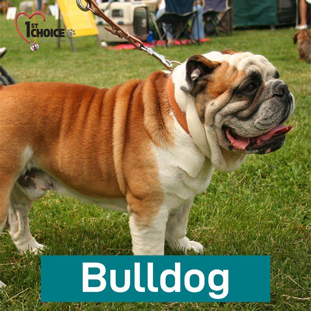Bulldog Mendengar Nama Anjing Ini Pasti Pikiran Kita Langsung