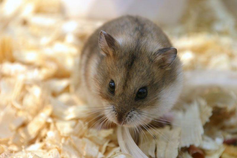 All About Syrian Teddy Bear Hamster Bear Hamster Hamster