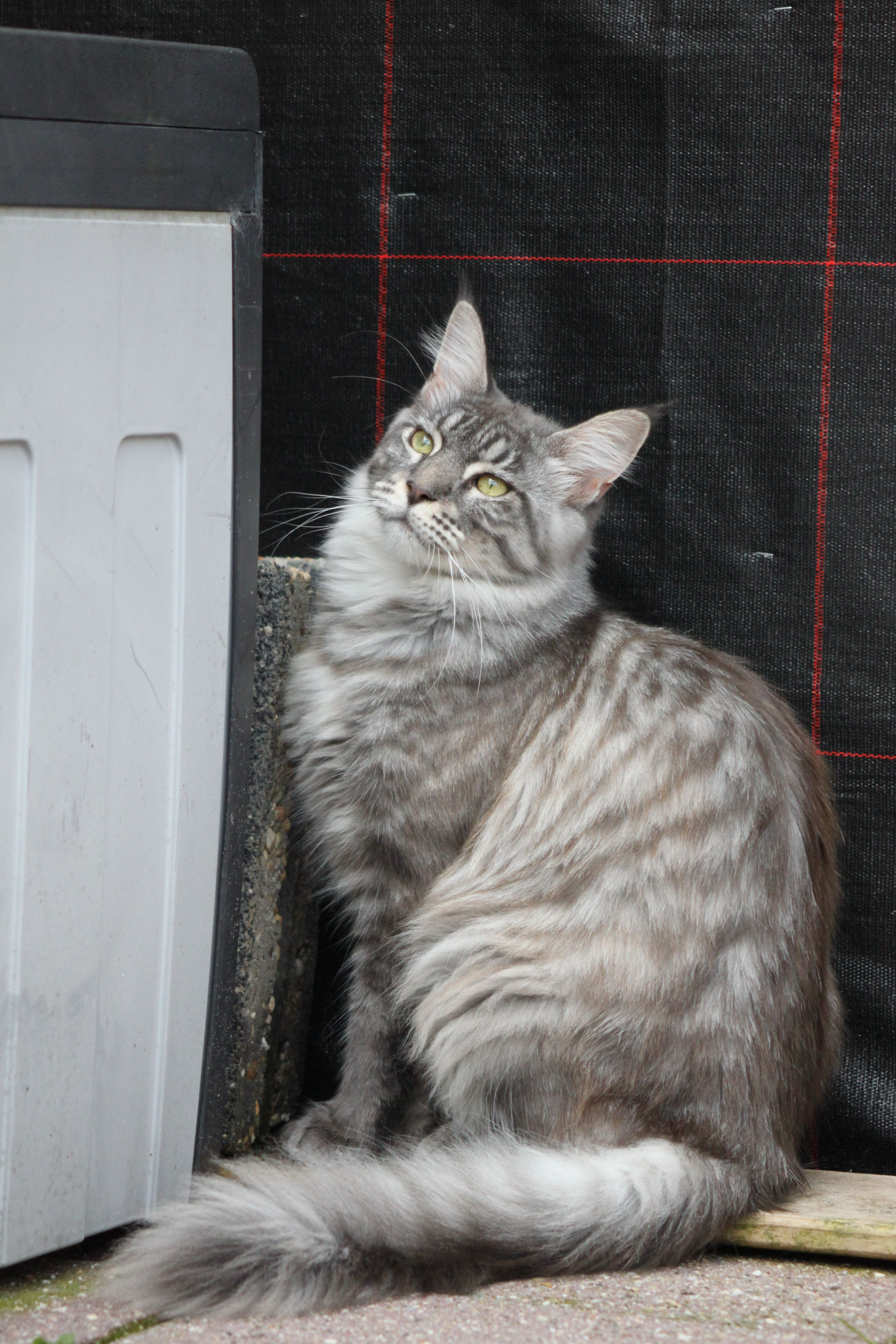 Maine Coon Cat Breeders In Pa