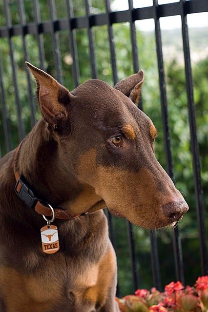 Chocolate Doberman With Images Dobermann Pinscher Dog Lovers